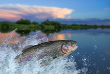 Fishing. Rainbow Trout Fish Ju...