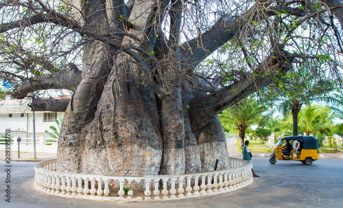 Obraz na plátně Madagascar - huge Baobab Tree in the middle of a traffic circle