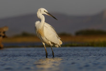 Little Egret Fishing In A Pond In Zimanga Game Reserve In South Africa