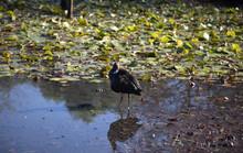 Australian Bird Purple Swamphe...