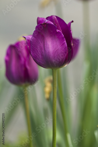 Macro shot of purple tulips in Central Park in New York City Poster