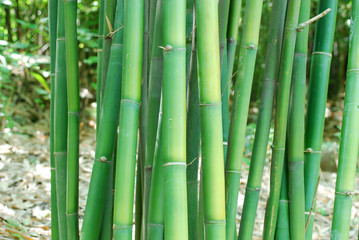 close up on green bamboo stems
