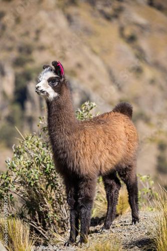 Staande foto Lama Baby llama along the road to Tunari