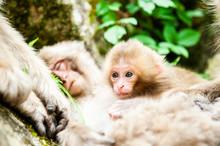 日本猿の子供