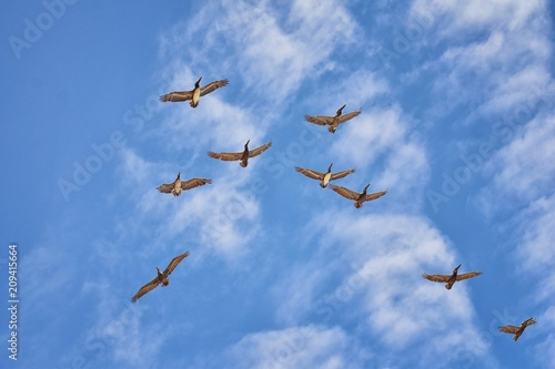 Fotografie, Obraz  Pelicans in flight often flying with Frigate or Scissor birds in formation in Puerto Vallarta Mexico