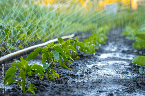 Photo Irrigation polyethylene pipe for watering beds