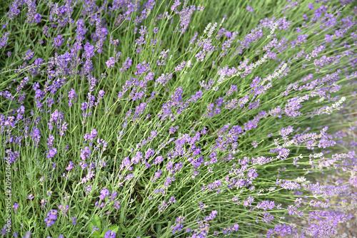 Foto op Plexiglas Lavendel Lavande au printemps