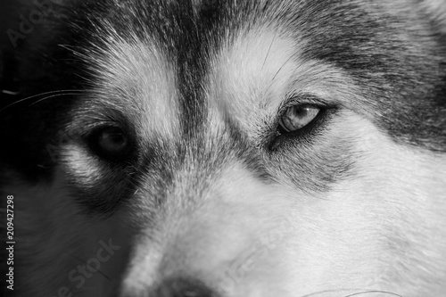 Photo Portrait of a young Alaskan malamute, the color of a wolf