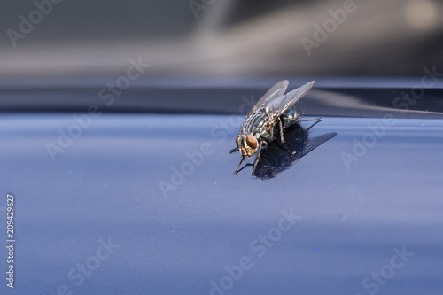 A fly on the gleaming hood of the car in detail.