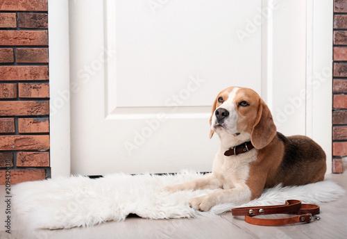 Photo  Cute Beagle dog lying and leash on floor near door