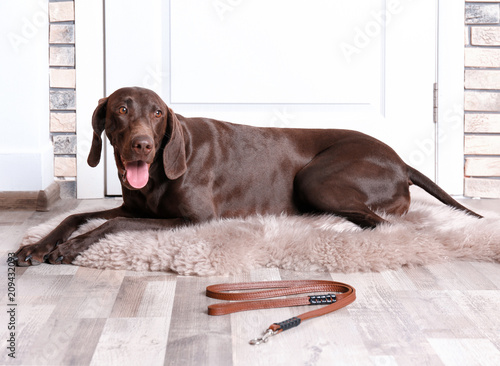 Photo  German Shorthaired Pointer dog lying and leash on floor near door