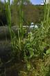 Sumpf-Vergissmeinnicht (Myosotis scorpioides) - water forget-me-not