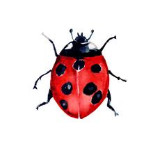 Beetle Ladybird Watercolour