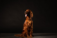 Irish Setter Dog Isolated On Black Background