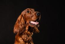 Irish Setter Dog Isolated On Black Background
