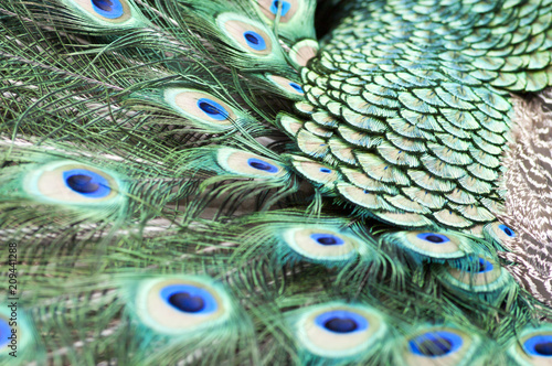 Foto op Plexiglas Pauw Indian peacock tail closeup