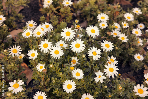 Papiers peints Marguerites bright group of Daisy flowers in green meadow
