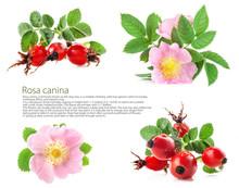 Rose Hips (Rosa Canina) Blosso...