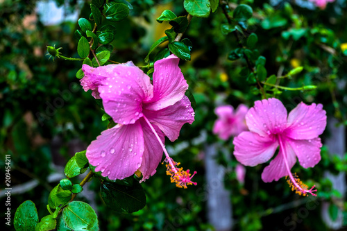 Blossom Chaba Flowers Asia Flowersshoe Flower Or Hibiscus Or