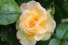 Yellow Rose Flowerhead Flower ...