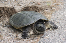 Nesting Common Snapping Turtle