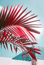 Red Colored Palm Tree Against Pale Blue Sky. Vivid And Pastel Colors, Creative Colorful Minimalism. Vertical
