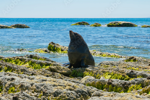 Fototapeta premium Baby cute foka na plaży wybrzeża skały, naturalne życie morskie