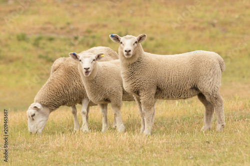 Cute baby sheep over dry grass field, farm animal