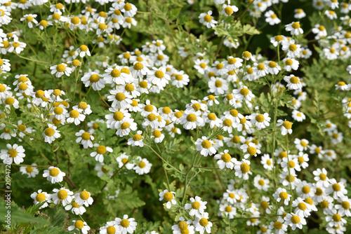 Papiers peints Narcisse Camomille en fleurs au jardin