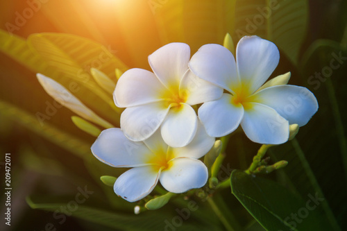 Canvas Prints Plumeria Beautiful white Plumeria