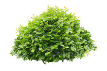 Green Bush Isolated On White B...