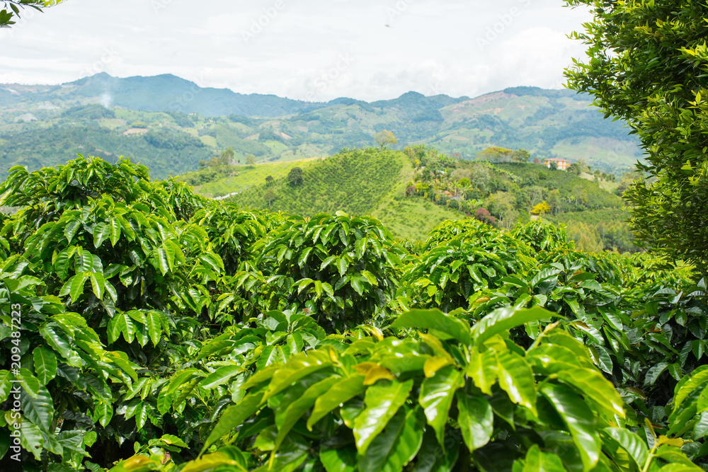 Fototapety, obrazy: Beautiful coffee plantation in Jerico, Colombia in the state of Antioquia.