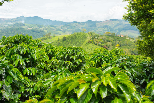 Cuadros en Lienzo Beautiful coffee plantation in Jerico, Colombia in the state of Antioquia