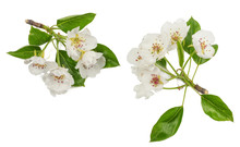 Flowers Of Pear Isolated On Wh...