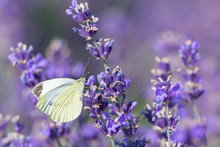 White Butterfly On A Lavender Field Flower
