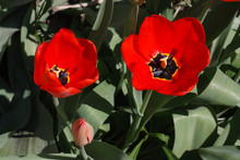 Blooming Red Tulips In The Spr...