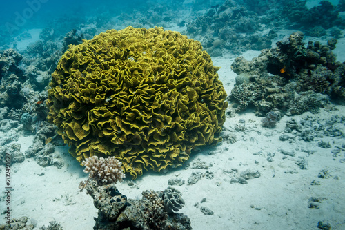 Fotografie, Obraz  The green coral at the bottom of the red sea