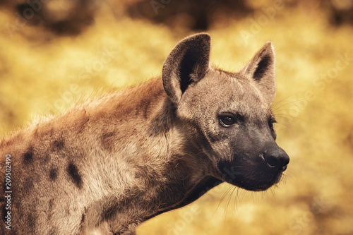 In de dag Hyena close up head of spot hyena with hunter eyes looking