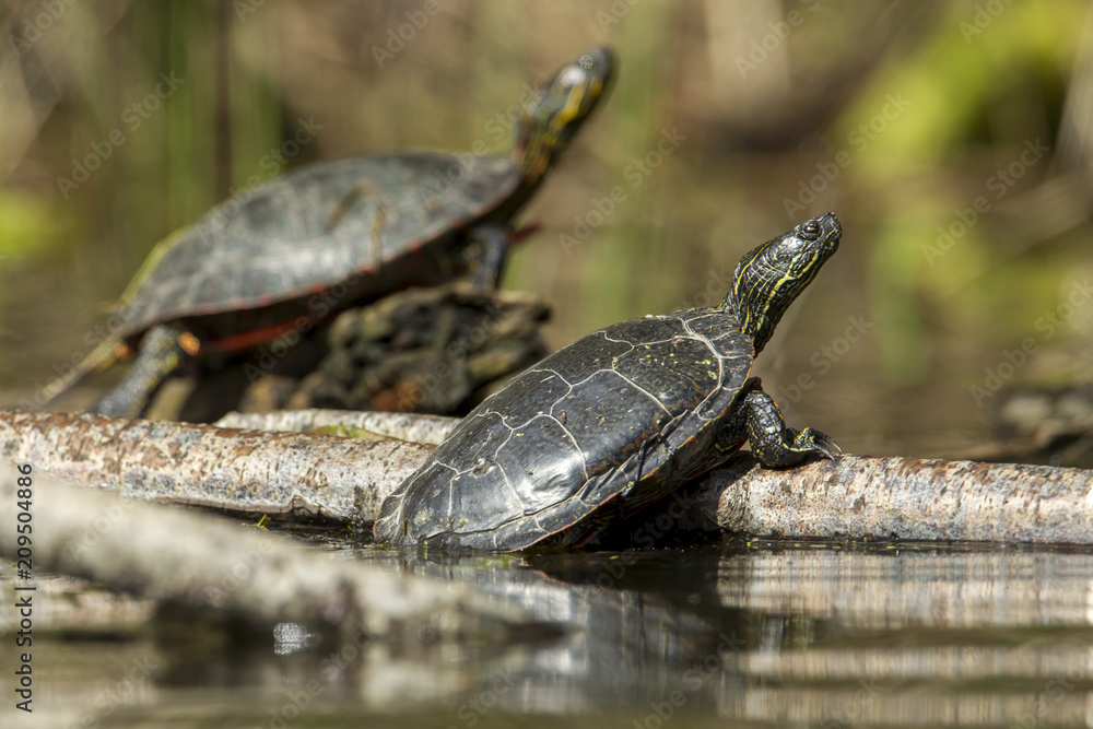 Two American painted turtles on a small log.
