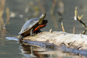Turtle resting on a log.