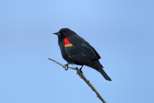 Red Winged Blackbird On Twig.