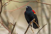 Closeup Of Redwinged Blackbird.