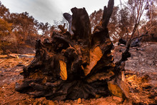 Large Oak Tree Destroyed By Fire Cut Roots