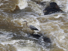 Great Blue Heron Over Tumultuous Water Of Potomac River