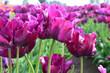 Purple Prince Tulips at Woodenshoe Tulip Farm in Woodburn Oregon