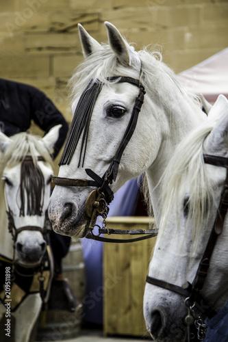Fototapety, obrazy: Feeding a horse