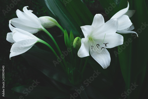 Large white flower of tropical plant in dark green colour nature large white flower of tropical plant in dark green colour nature background mightylinksfo