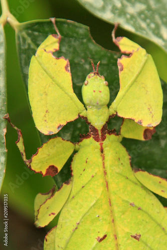 Photo  Leaf Insect