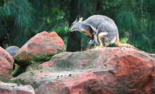 A Mother Yellow-footed Rock-wa...