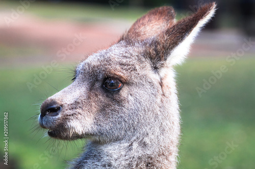 In de dag Kangoeroe Closeup of the head of an eastern grey kangaroo (Macropus giganteus) in New South Wales, Australia.